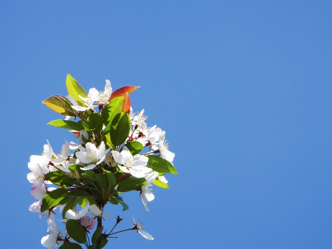 Above View Looking Up😍 perfect sky Beauty In Nature Blossom Clear Sky Eye4photography  Simple Beauty Thankful✨ Tranquility For My Friends 😍😘🎁 Beauty In Nature Enjoyinglife  Celebrate The Little Things white flowers Summertime 🌞 Blue Sky And Flowers