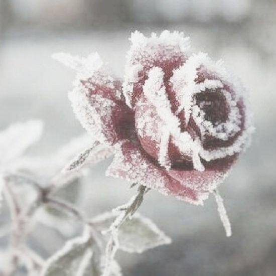 Rosé Winter Snow ColdLove kcco chiveOn christmas