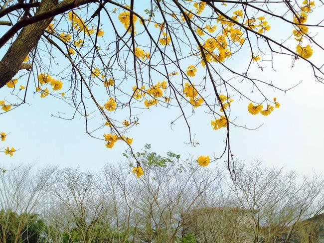 Yellow Flower Trees Flowers Blue Sky EyeEm Trees