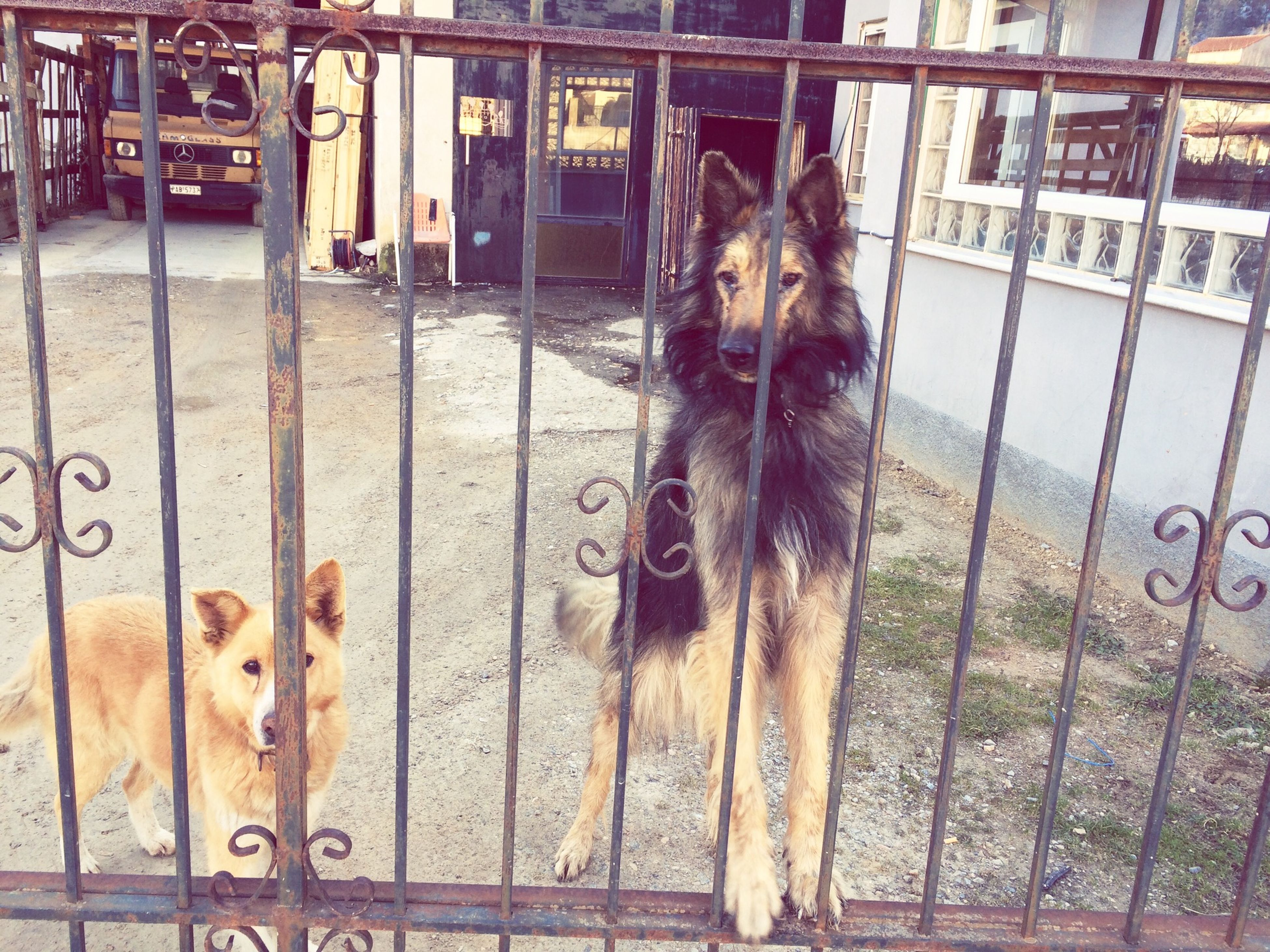 animal themes, mammal, domestic animals, one animal, fence, pets, portrait, looking at camera, dog, standing, animals in captivity, outdoors, day, metal, no people, livestock, protection, front view, two animals, safety