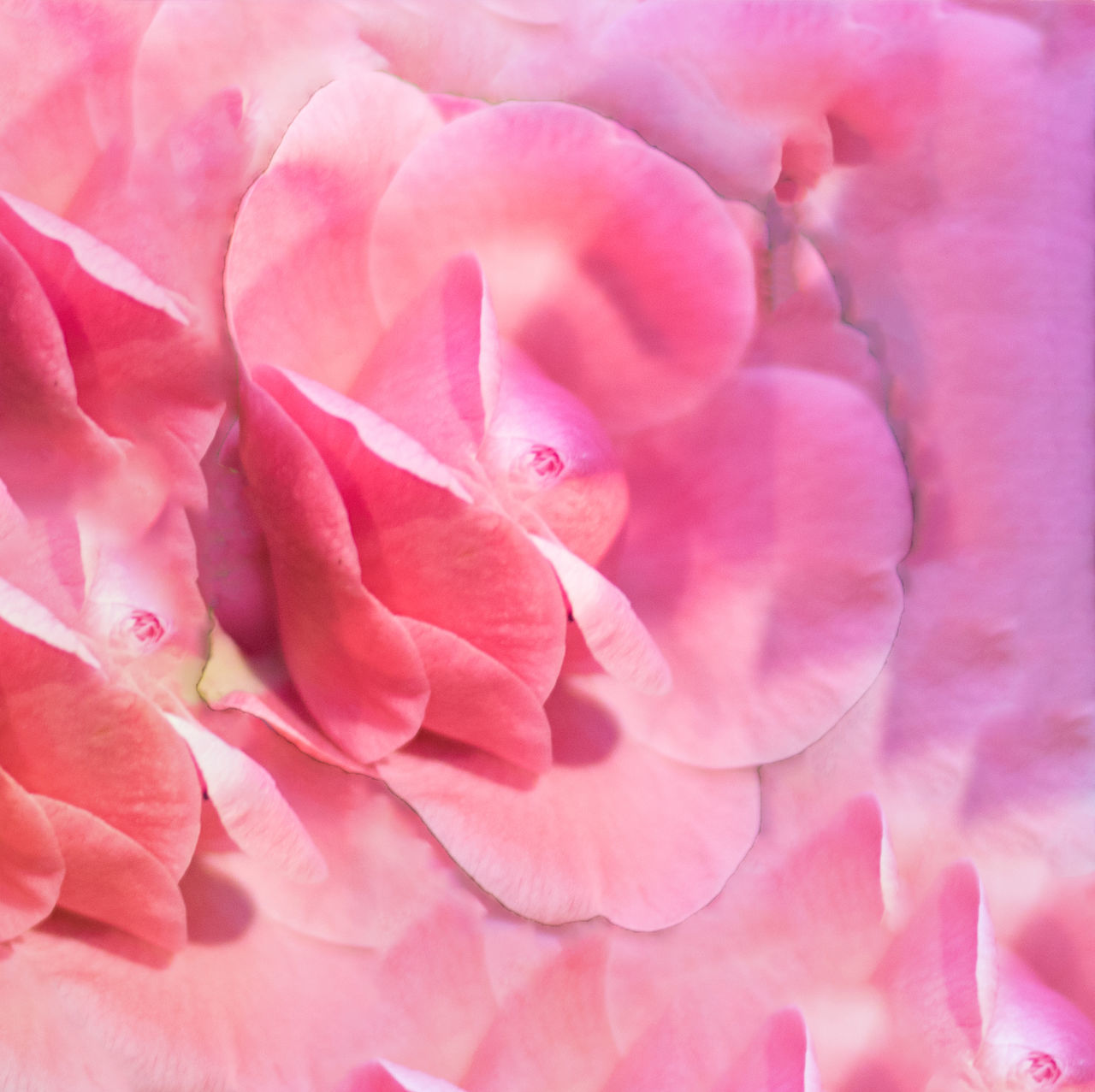 flower, petal, pink color, backgrounds, full frame, beauty in nature, nature, flower head, no people, rose - flower, fragility, close-up, plant, freshness, growth, outdoors, day