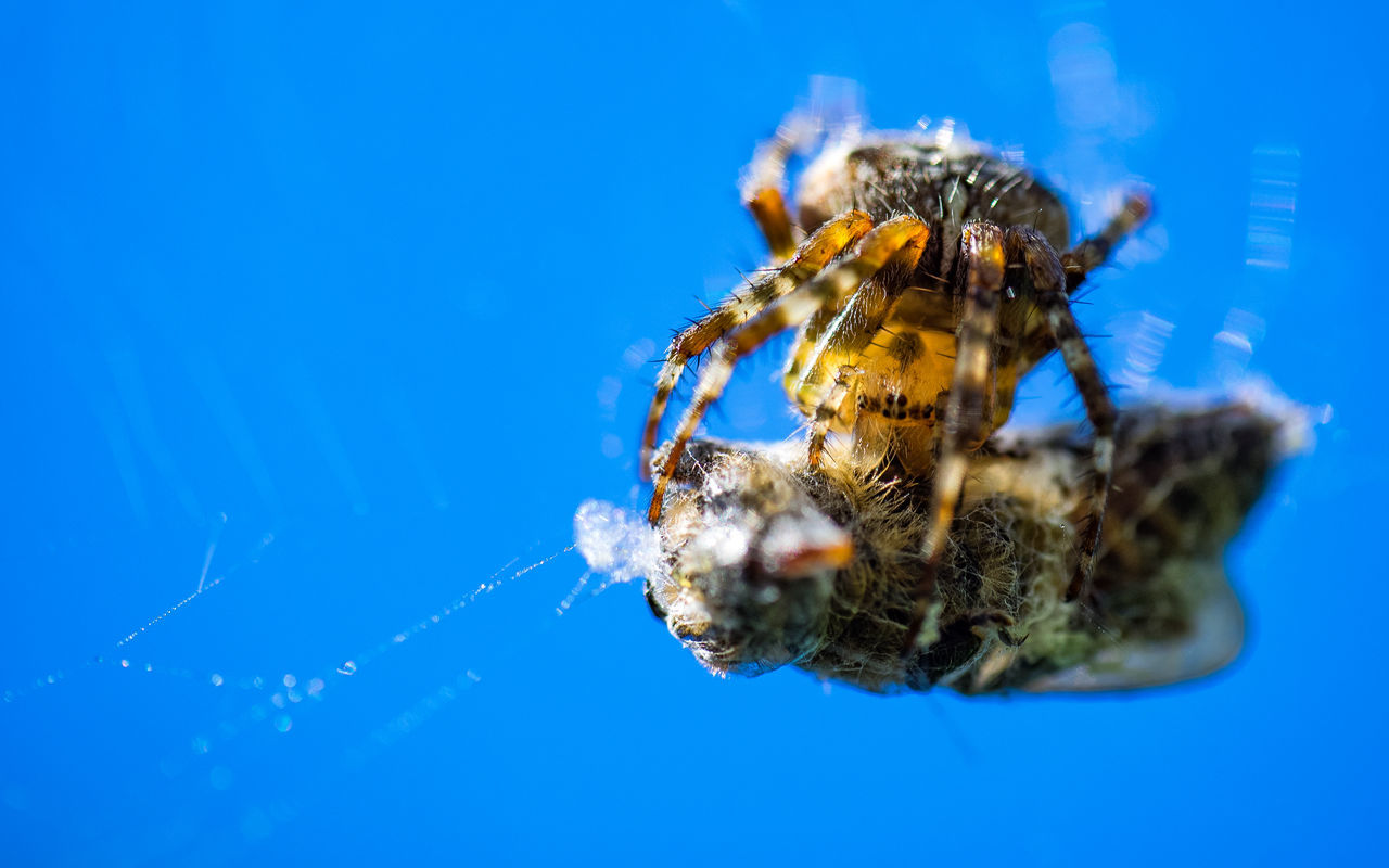 Beautiful stock photos of spider's, Animal Themes, Animal Wildlife, Animals In The Wild, Blue Background
