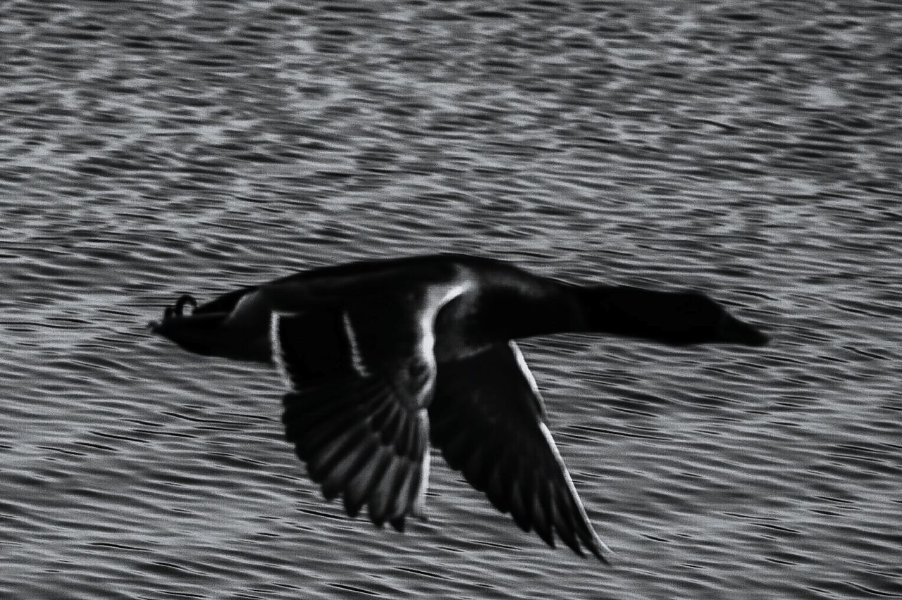 water, animal themes, one animal, swimming, rippled, animals in the wild, waterfront, nature, animal wildlife, lake, no people, outdoors, motion, day, bird, spread wings, beauty in nature, close-up