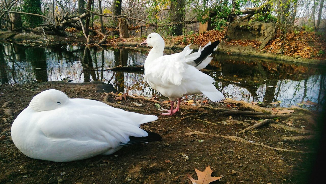 Snow Geese Animal_collection Animalphotography Zoo Zoo Animals  Snowgeese Animal Love Taking Photos Check This Out