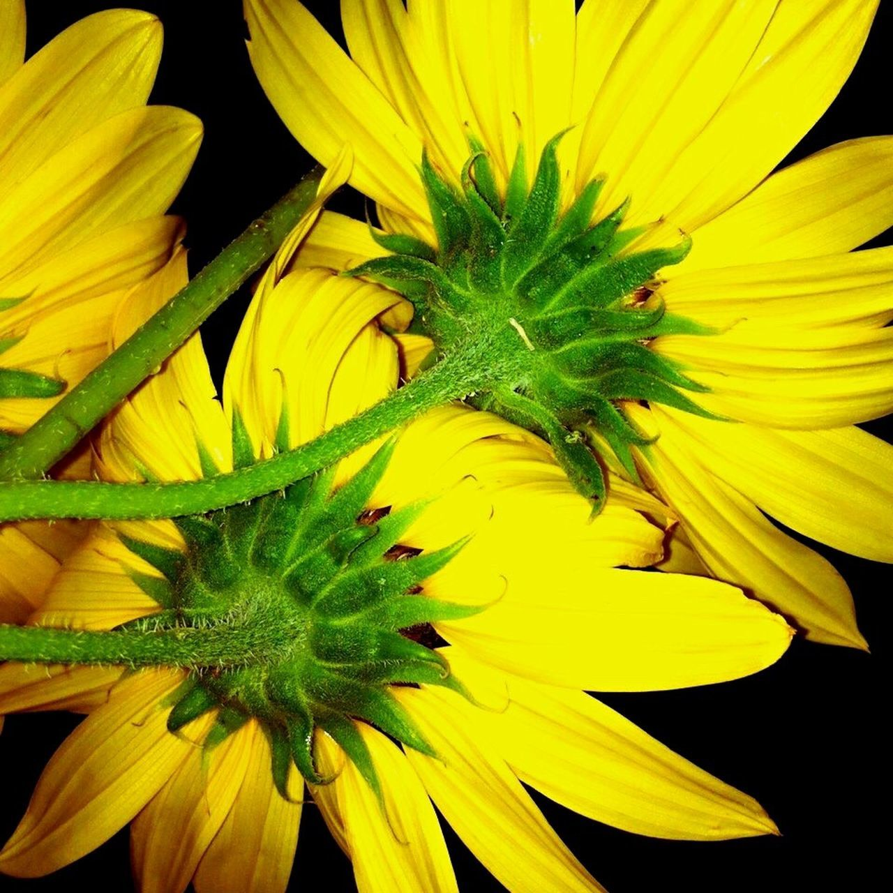 Yellow Yellow Flowers Sunflowers Lookingup Ckose Up Texas Wildflowers