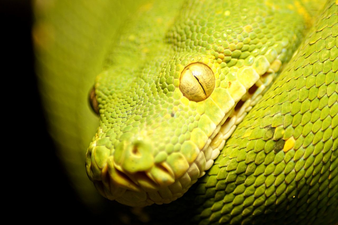 green snake Animal Green Nature Reptile Snake Snake Eye  Snakeface Snakes Wild Wildlife