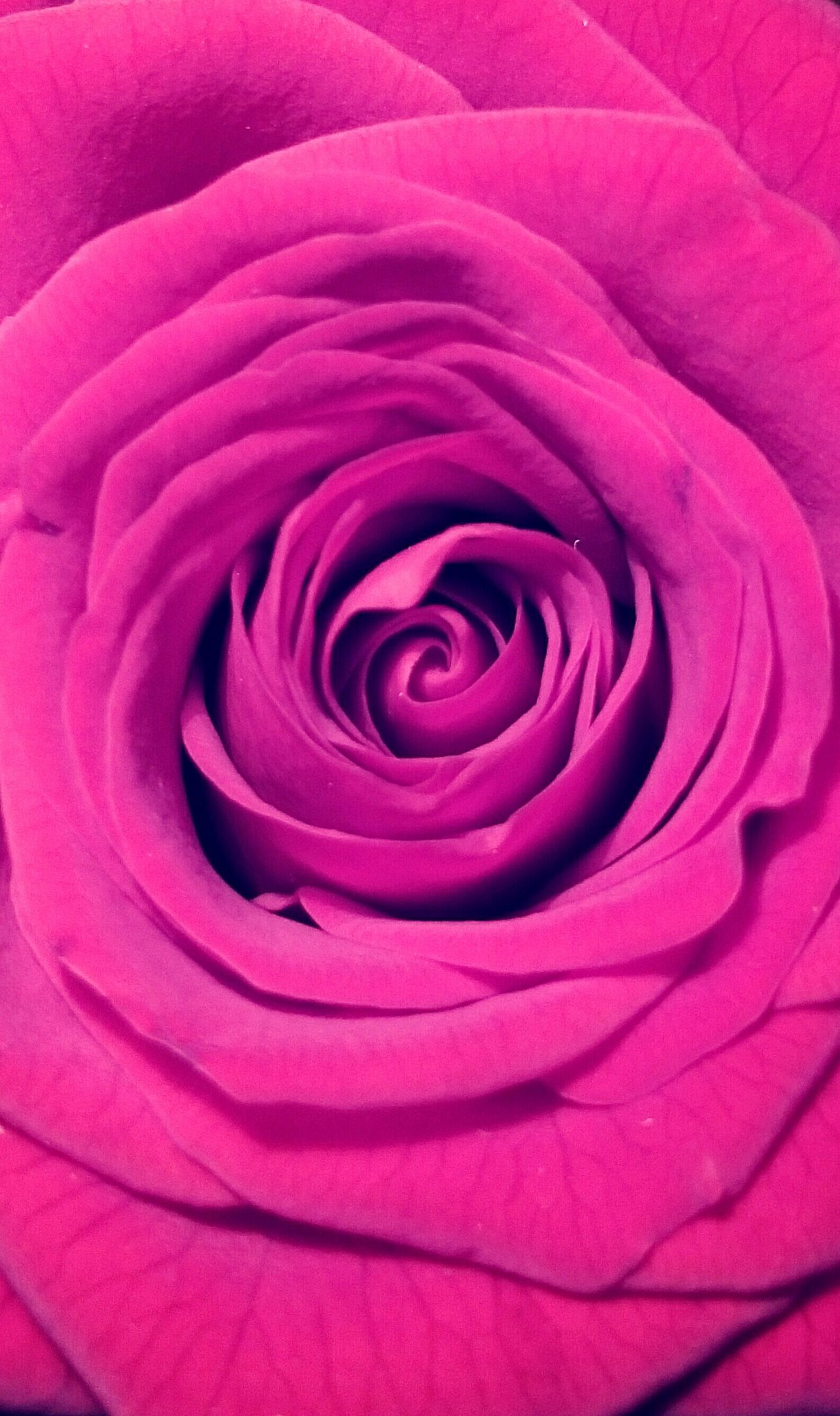 Violet By Motorola Rosé Rose🌹 Purple Violet Flowerporn Flower Flowers Heart Heartflowers Beautiful rose