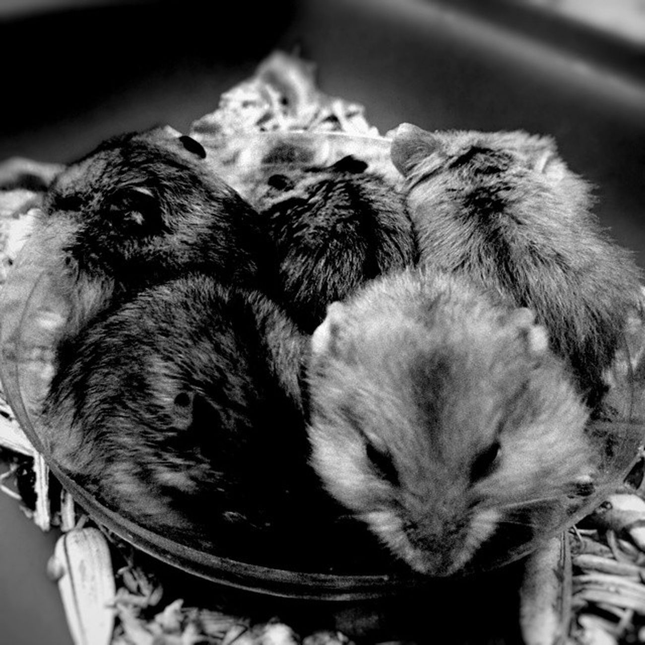 Five in one. Morning Morningactivity POTD Thursday breakfast seeds nuts hamster hamsters babyhamsters babyanimals pet fluffy blackandwhite blackandwhitephotography colorless world_bnw bw_awards insta_bw bnw_planet ae_bnw bnw bnw_society bwstyles_gf bnw_diamond bnw_life rsa_bnw