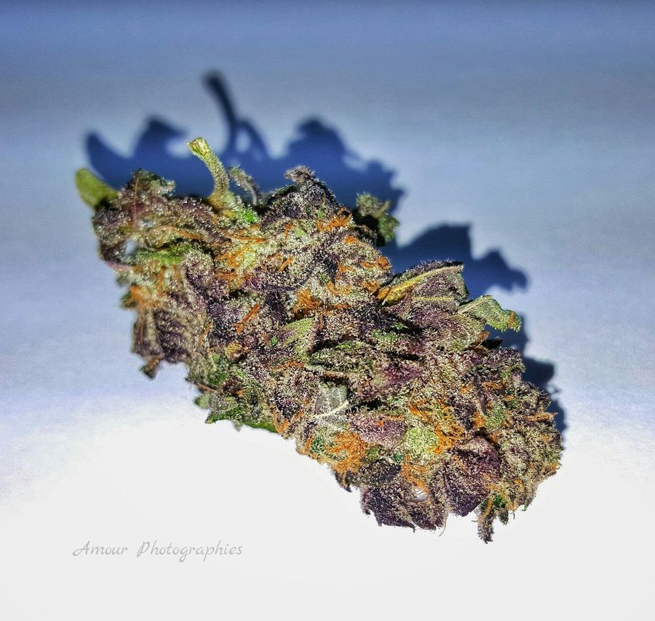 "Deep Purple Bubba for Days . Amour Photographies 1/3 When we were weighing up eighths we found this insanely purple bud and discovered the origin of ""Deep Purple"". Dispensary Life Deep Purple Bubba Deep Purple Purple Strain Indica Beautiful Bc Bud Bud Medical Marijuana Cannabis Marijuana Bud Collection High Life Vancouver Island Canada Island Life Island Grown Medical Cannabis Community Welcome To My World Medical Cannabis Hippie Life Organic"