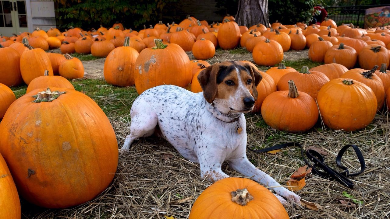 Beautiful stock photos of pumpkin, Animal Themes, Day, Dog, Domestic Animals