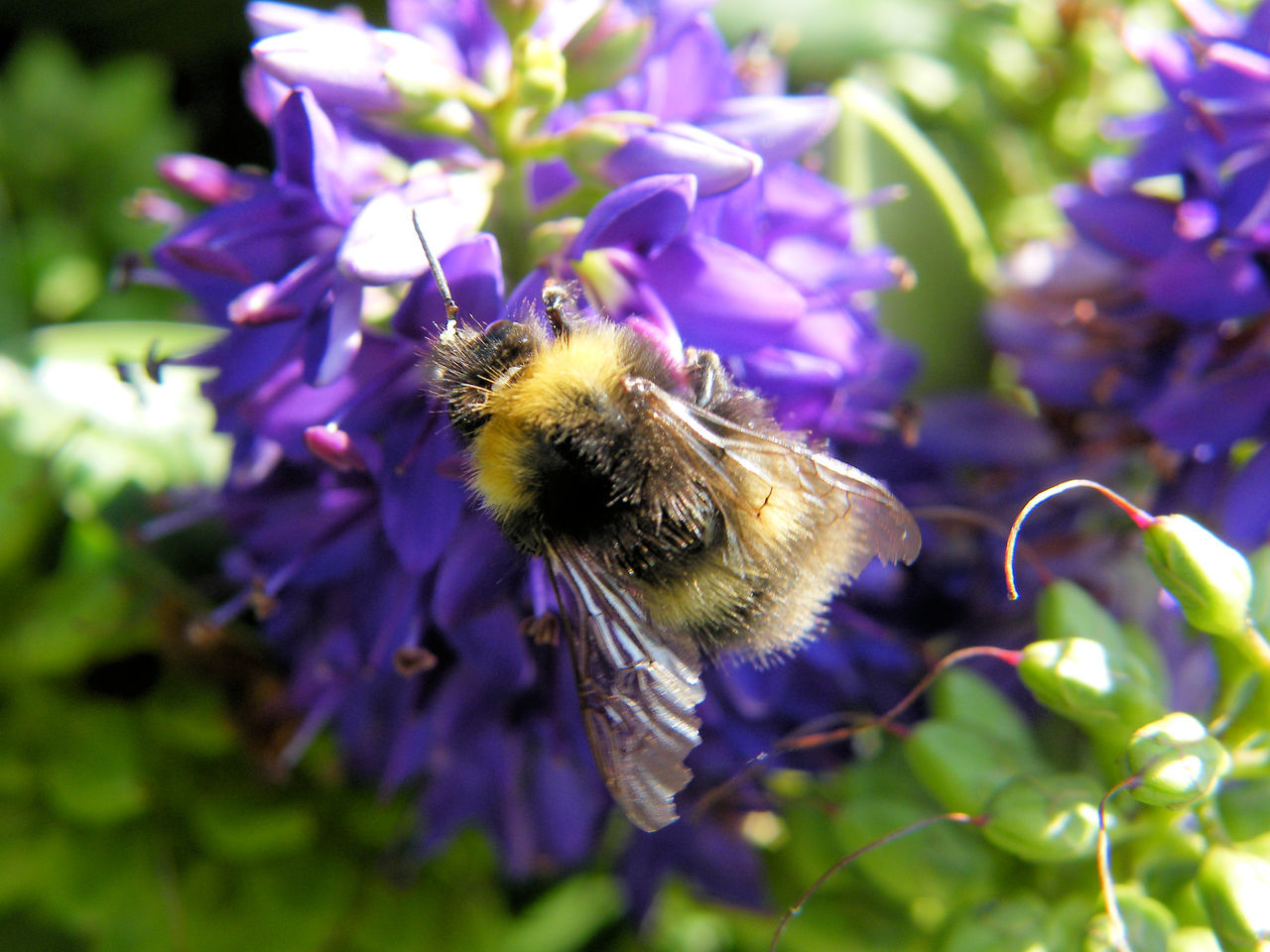 Animal Themes Beauty In Nature Bee Bumble Bee Bumblebee On Flower Close-up Day Flower Flower Head Fragility Freshness Growth Hebe Insect Nature No People Outdoors Plant Pollination Purple She Bee On A He Be
