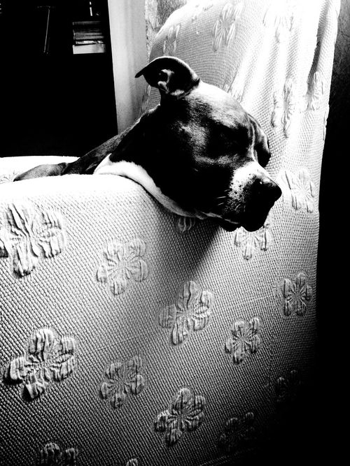 Dogslife Amstaffstyle Il Riposo Del Guerriero Animal Photography
