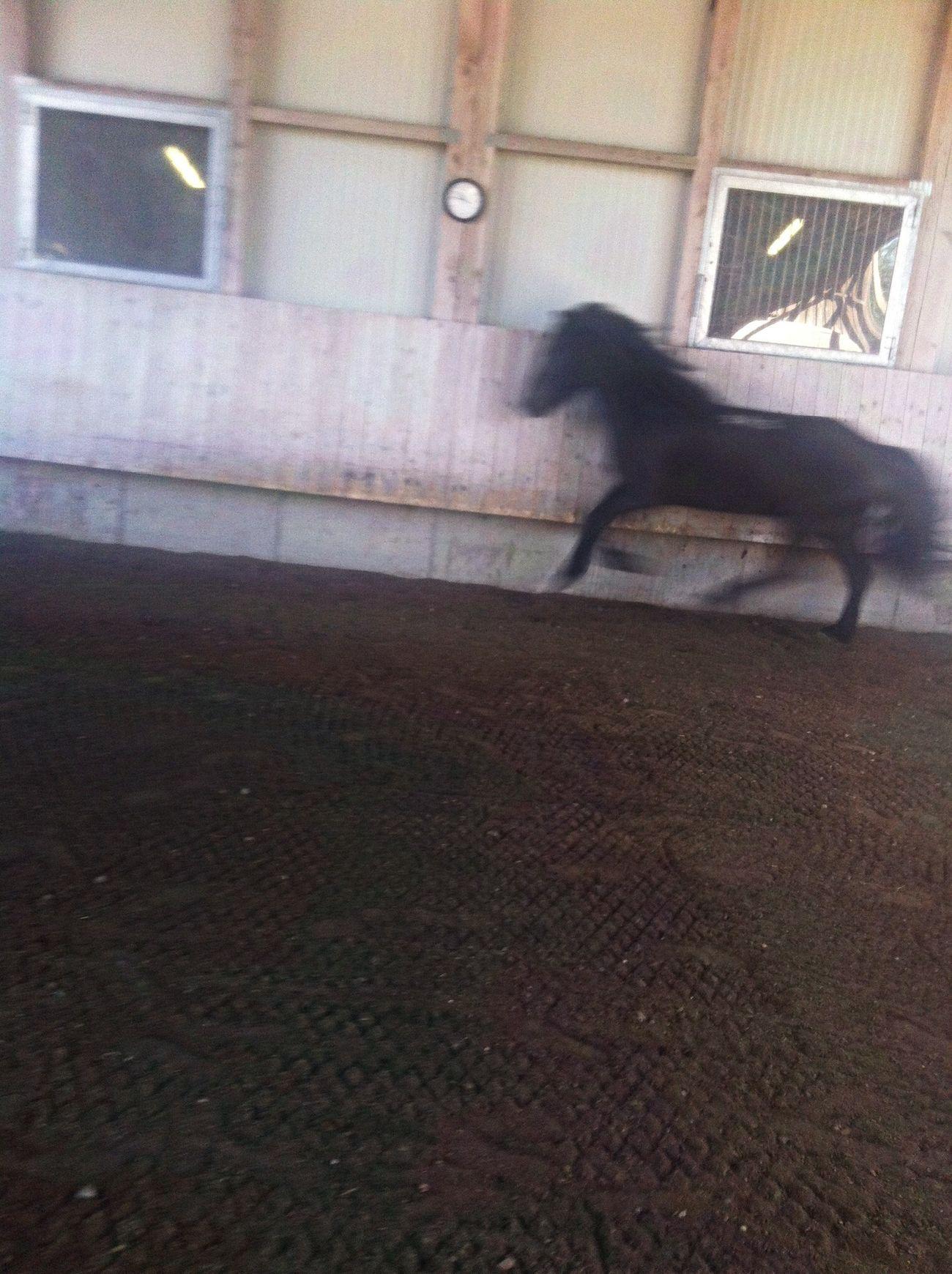 Action Black Horse Icelandic Horse Sigi ?