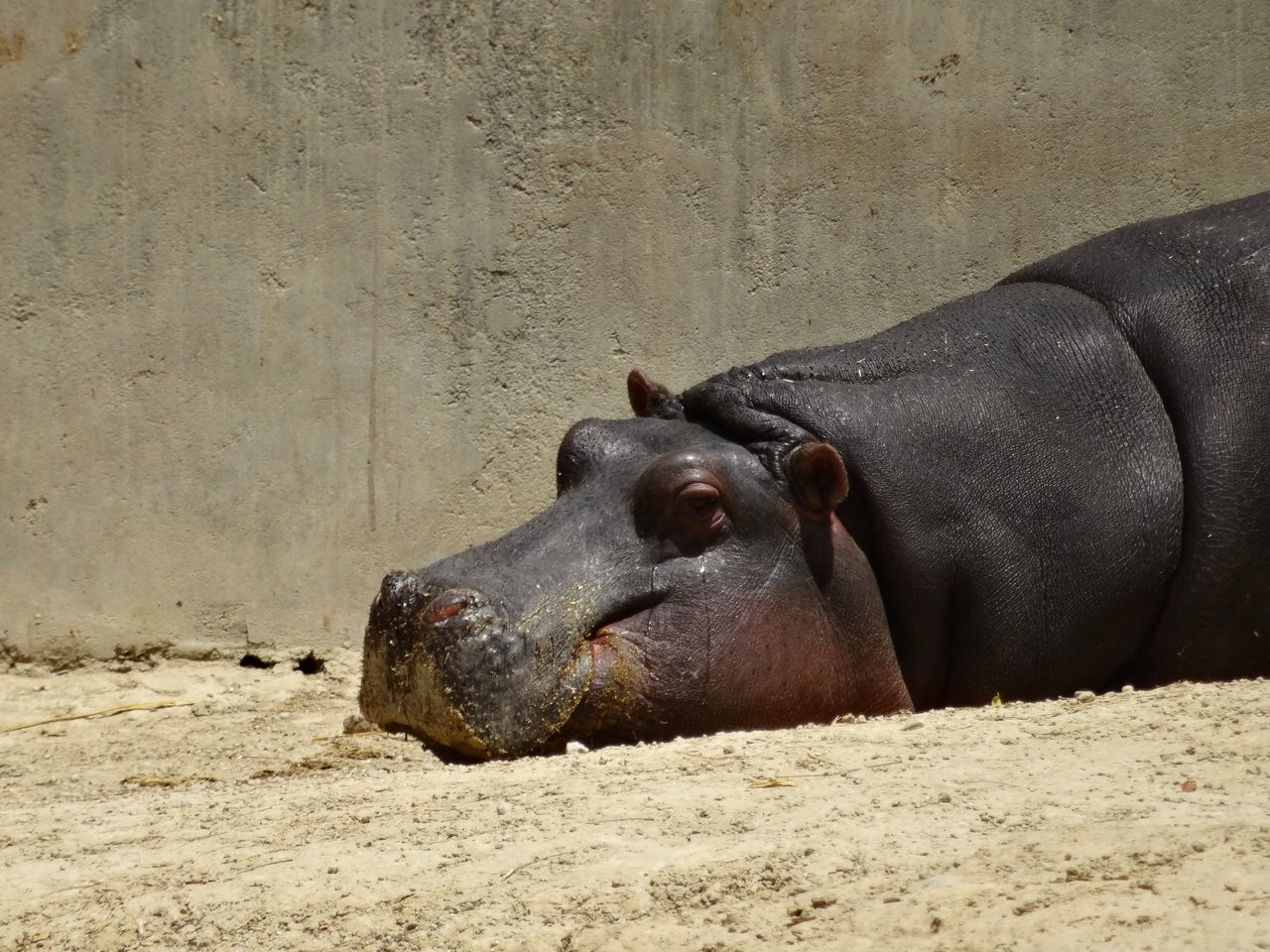 Sand Animal Themes One Animal Sunlight Relaxation Nature No People Outdoors Day Close-up Sunlight Sunbathing Lazy Animal In The Zoo Hippopotamus