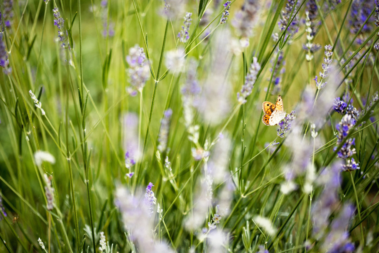 flower, nature, one animal, grass, insect, animal themes, plant, growth, selective focus, fragility, beauty in nature, animal wildlife, meadow, field, day, animals in the wild, outdoors, green color, wildflower, no people, freshness, butterfly - insect, flower head, close-up, bee