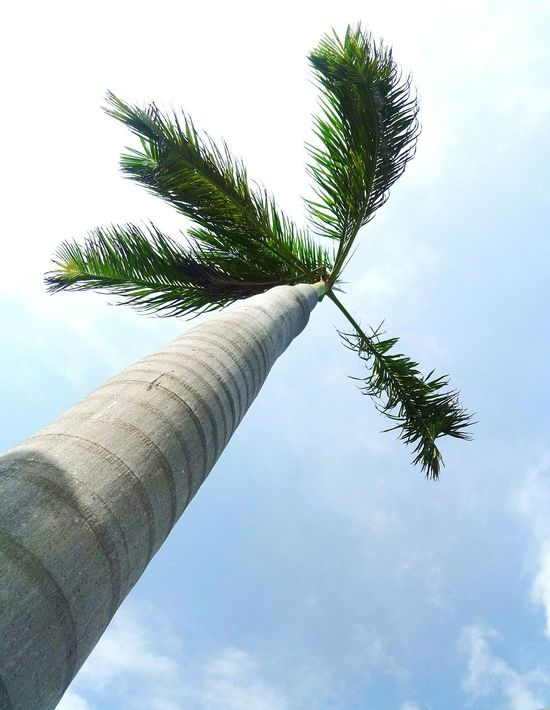 LOOKING UP Lookingup Tree Sky Cloud - Sky Low Angle View Day No People Palm Tree Nature Tree Trunk Close-up Outdoors Tree Lovers Palm Leaf Palm Palmtrees Mexico Cancun Angles And Views Angle Angleshot Angle View Trees And Sky Naturelovers Treelovers