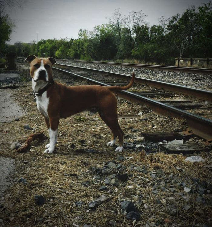 Life on the tracks with Ottis the Pitbull. New Braunfels TX Summertime In NEW Braunfels New Braunfels New Braunfels Texas Texas Pitbulls Pitbull Love Pitty Pitbull♥ Pitbulllife Pitbulllove Pitbullsofficial Pittbulls Pit Bull Pittbull Pitbull Train Trainphotography Trains Trains & Railroad Train Tracks Pittie Pitt Bull Railroad Railway