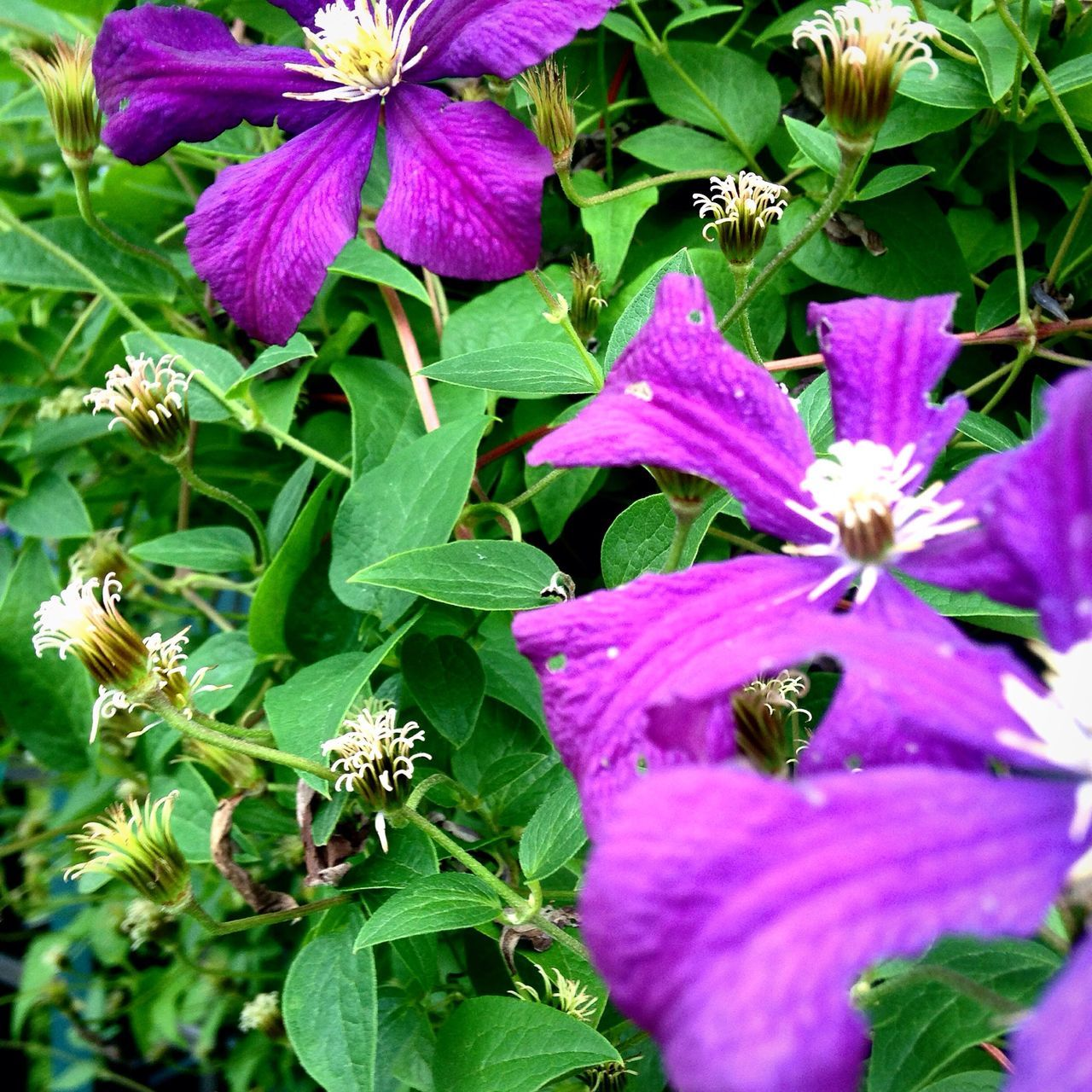Clematisphotography Clematis Vine Clematis Flower Clematis Taking Photos Beautiful Nature Flower Check This Out Flower Collection Summertime 🌞 Flower Photography Showcase July