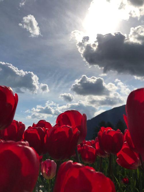 Flower Sky Petal Cloud - Sky Beauty In Nature Red Sunlight Blooming Tulip Love Tulip Festival Flower Head Flowerpower Tulip Fields Tulips Feildsoflove Tranquil Scene Sunlight Agriculture