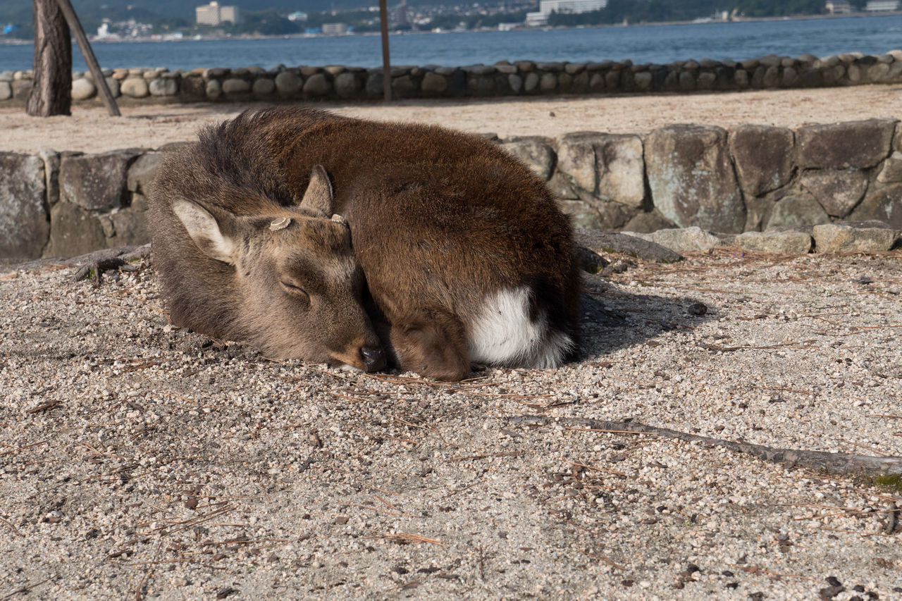 Animal Animal Themes Animals In The Wild Beach Countryside Day Deer Hiroshima Hiroshima -Miyajima Hiroshima,japan Mammal Miyajima Nature No People One Animal Outdoors Sand
