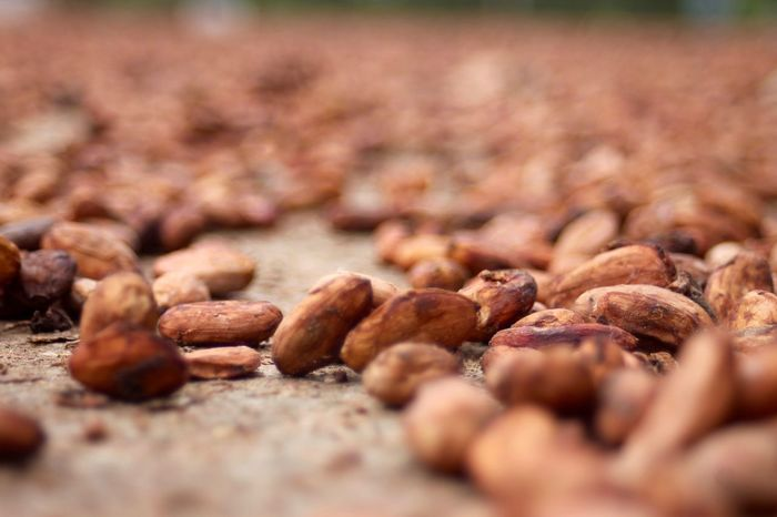 Cacao Beans Branch Close-up Day Fermentation Food Freshness Nature No People Outdoors Quantity Selective Focus