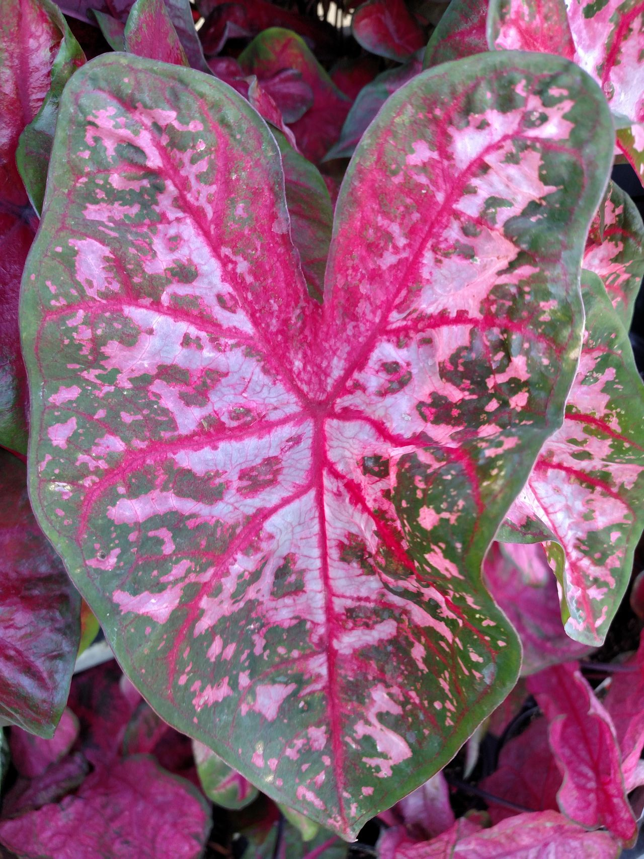 The Purist (no Edit, No Filter) Pink Leaves Heart Shape Heart Shapes In Nature Landscape_captures Landscape Garden Flowers Ladyphotographerofthemonth Leaf Vein Leafporn Leaf Veins Art In Nature Pink And Green