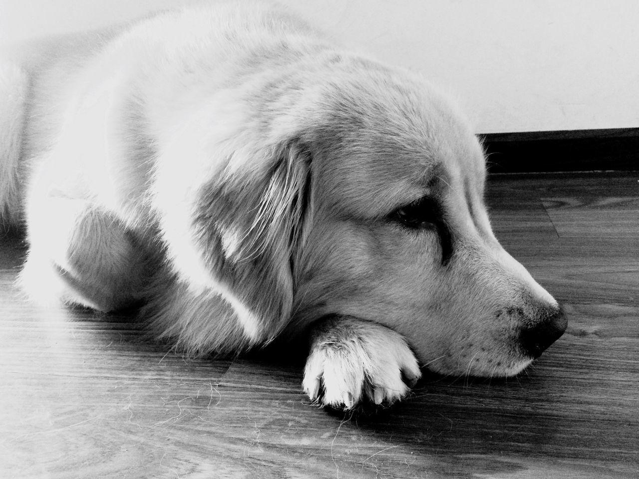 dog, pets, one animal, domestic animals, animal themes, mammal, indoors, sleeping, lying down, hardwood floor, close-up, relaxation, no people, day