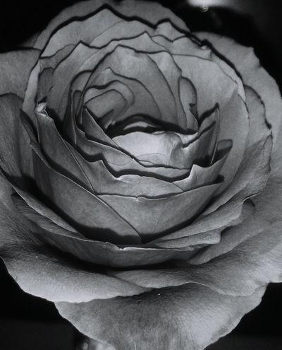 Flower Petal Nature Nature Photography Nature Flowers :) Flower Photography Nikon Nikonphotography Beautiful ♥ Black Background Vintage Vintage Photo Beatiful Nature Rose Petals Roses Flowers  Roses, Flowers, Nature, Garden, Bouquet, Love,