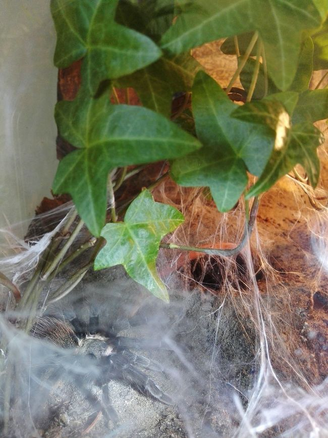 More spider webs from the brachypelma Emma Spider Webs Spinne Emma - Brachypelma Vaganz Brachypelma Vogelspinne Tarantula