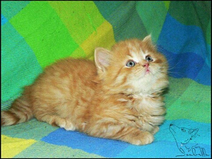 кот котёнок августин британец длинношерстный красный рыжий тигровый