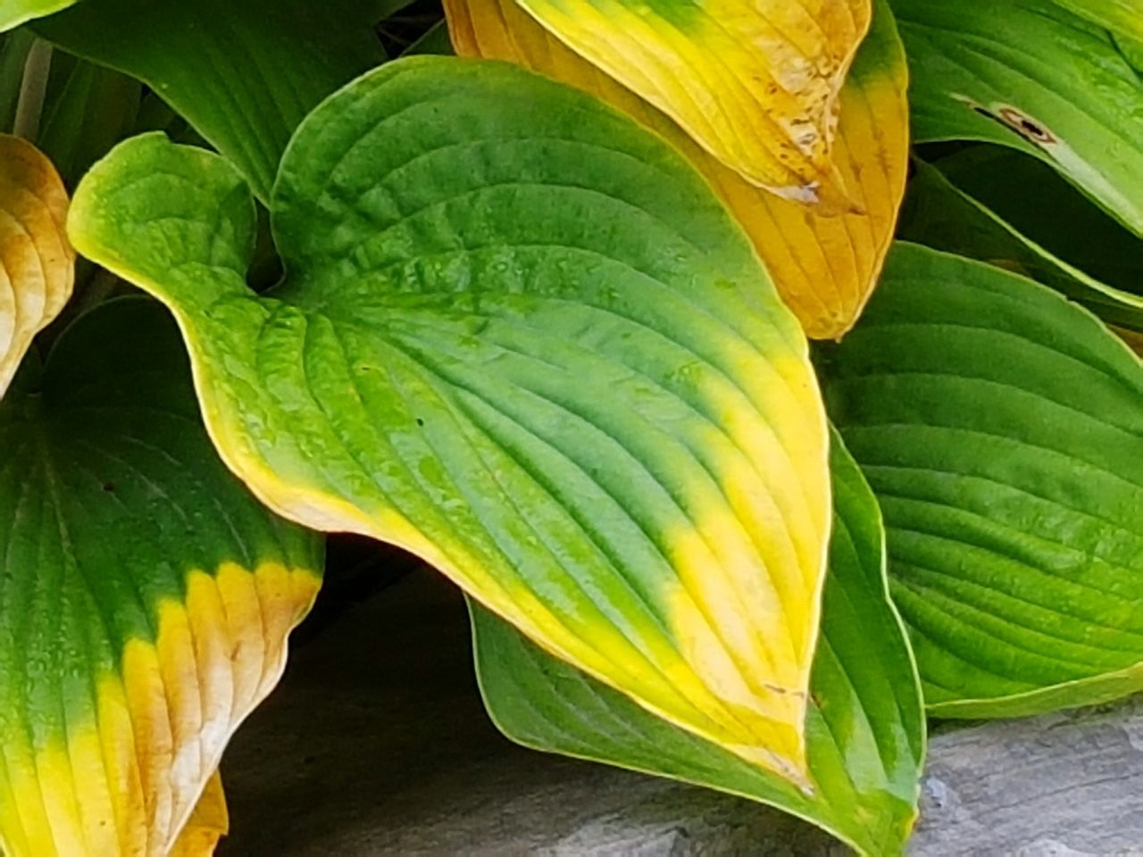 Hosta leaves Green And Yellow Leaves Beauty In Nature Outdoors Autumn Leafs Rainy Day Wet Leaf Nature Plant Lmage Of The Week EyeEm Gallery EyeEm Best Shots - Nature EyeEm Market © Eyeem Market Team Eyeemphotography Garden Photography Mobile Photography Water RainDrop Eyeem Collection Macro Photography Eyeem Canada Eyeem Marketplace Eye4photography  EyeEm Best Shots