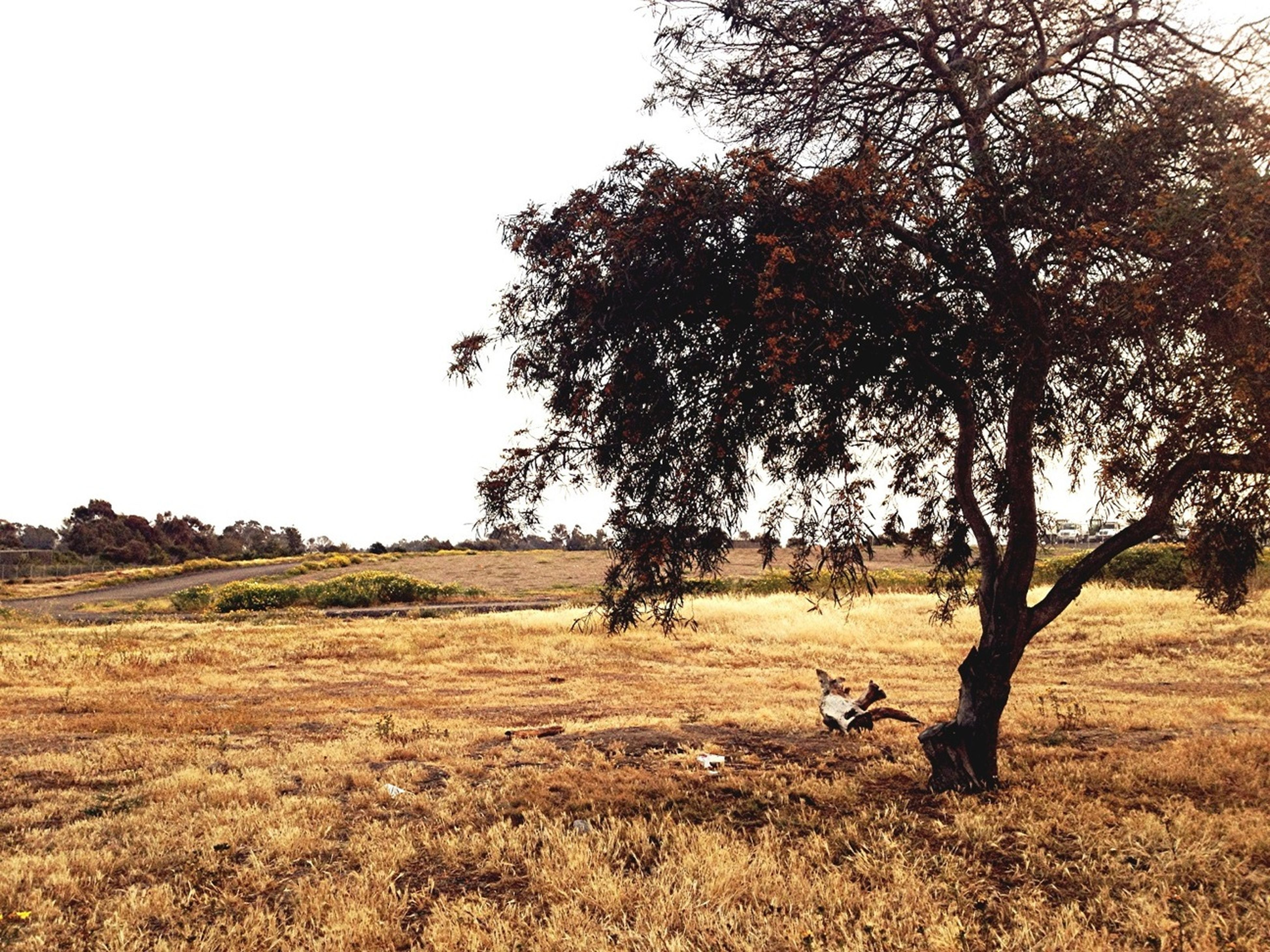 tree, clear sky, tranquility, field, tranquil scene, grass, landscape, nature, animal themes, beauty in nature, scenics, growth, copy space, bare tree, sky, day, grassy, branch, non-urban scene, outdoors