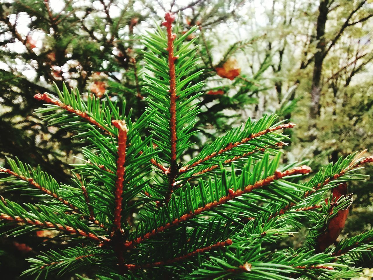 green color, growth, nature, focus on foreground, tree, pine tree, day, no people, beauty in nature, close-up, needle - plant part, leaf, branch, selective focus, plant, pinaceae, outdoors, needle, spruce tree, freshness, fir tree