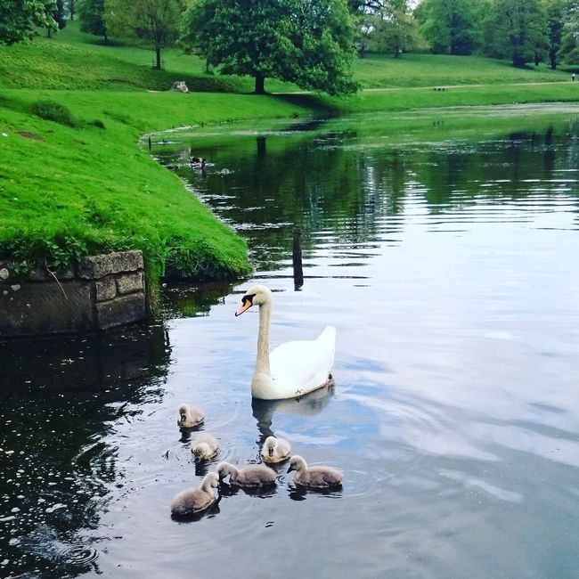 Swan Cygnets Studley Royal Fountains Abbey Fountains Abbey Yorkshire Swan Family Lake Mother And Child Babies Swans Swanlake Cygnet Swans ❤ Swans On The Lake