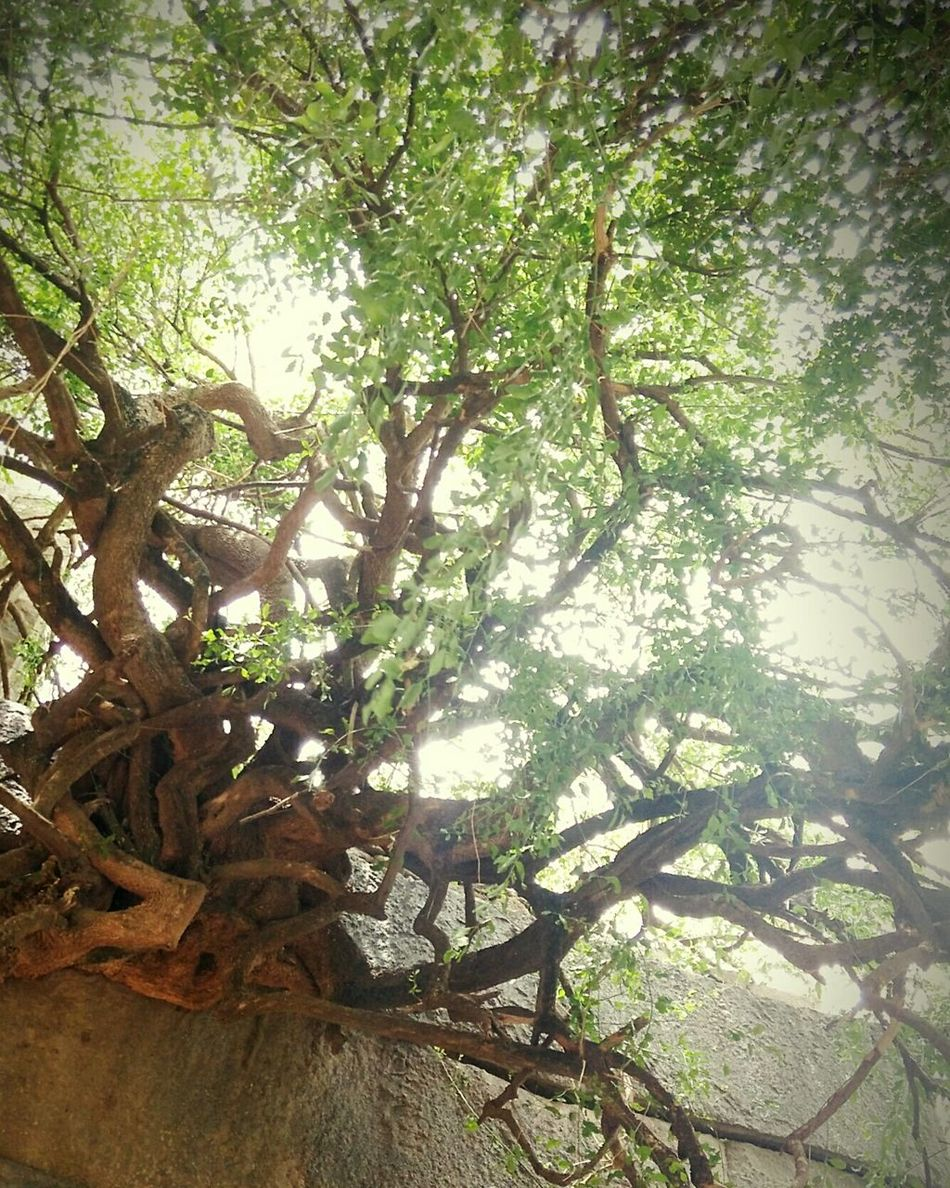 Through The Huge Stones The Wild Tree Strength Sunrays Through The Branches