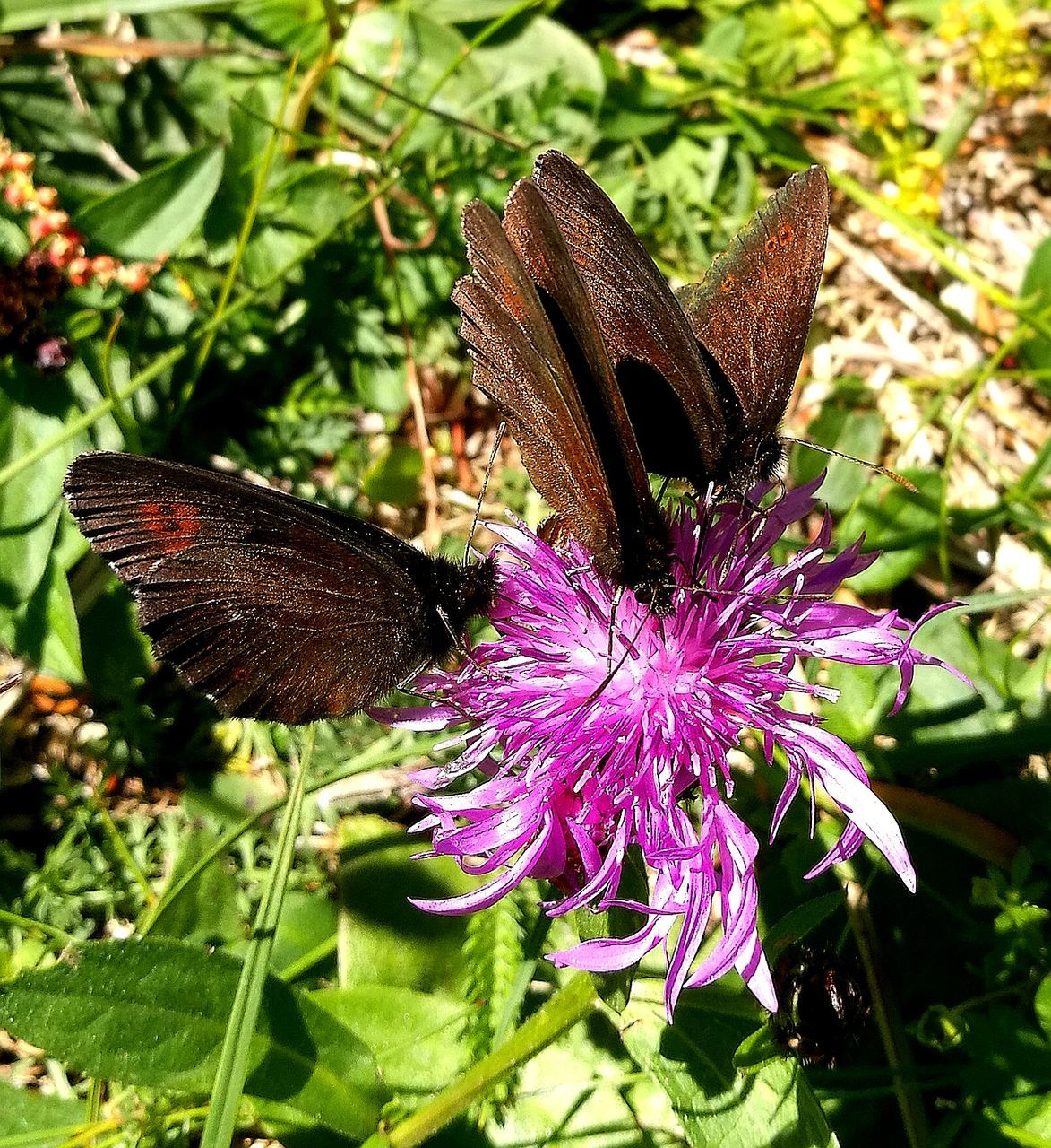 flower, insect, animal themes, nature, one animal, growth, animals in the wild, fragility, butterfly - insect, no people, plant, purple, beauty in nature, freshness, day, outdoors, butterfly, close-up, flower head, pollination