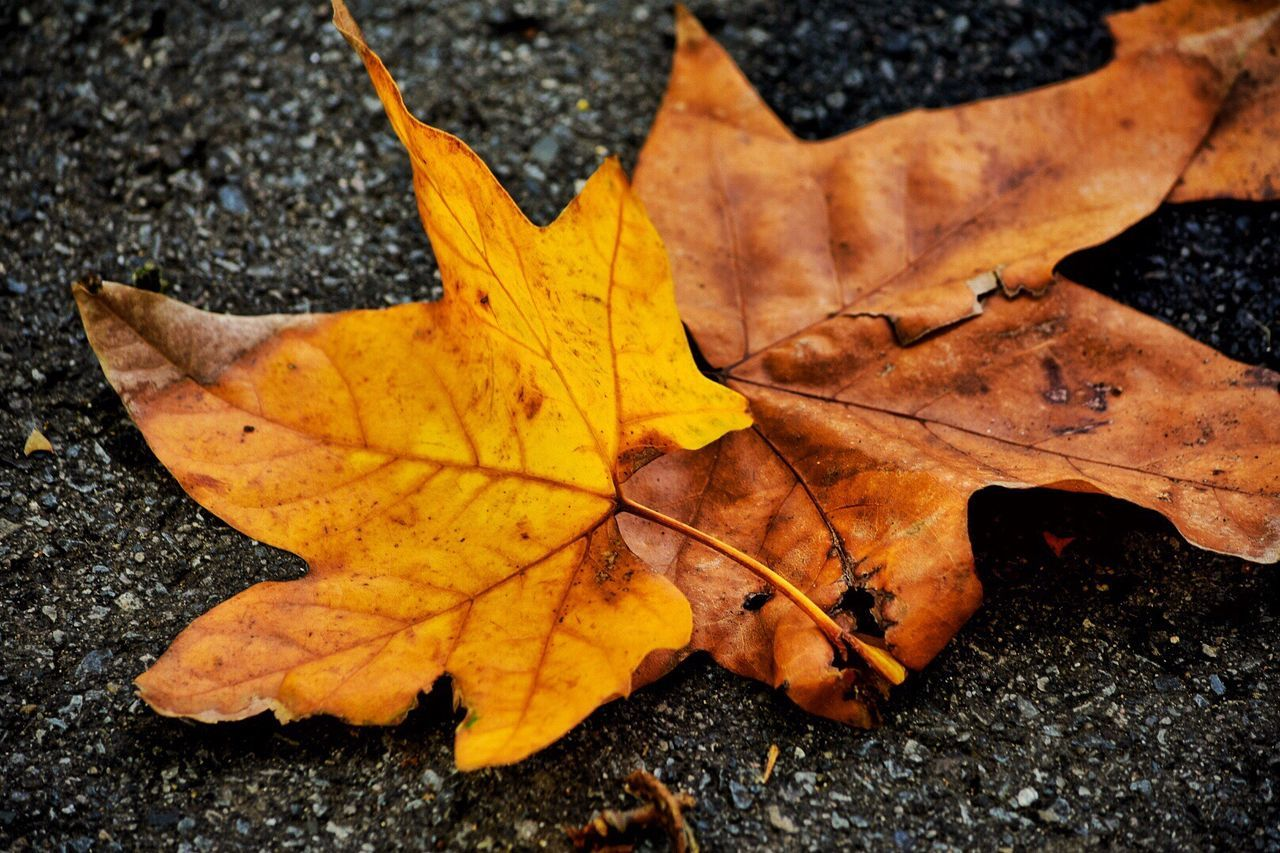 autumn, leaf, change, dry, maple, maple leaf, leaves, nature, day, outdoors, fallen, close-up, yellow, selective focus, high angle view, wet, no people, beauty in nature, fragility, water