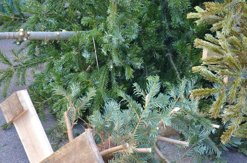After Christmas Beauty In Nature Christmas Tree Close-up Day Green Color Growth Nature No People Outdoors Plant The Day After Trashed Tree