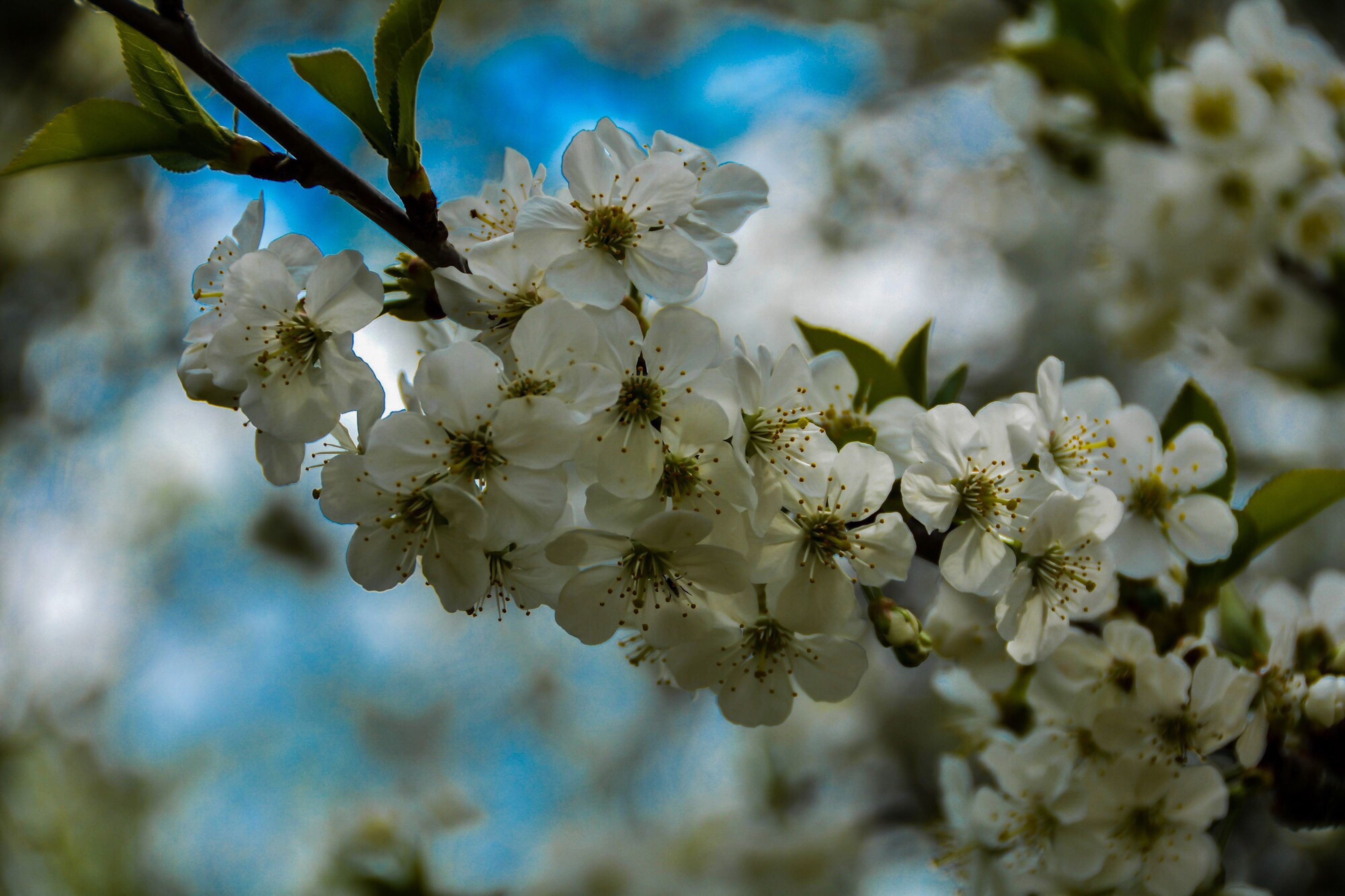 flower, freshness, growth, fragility, white color, beauty in nature, cherry blossom, branch, focus on foreground, close-up, nature, petal, tree, blossom, cherry tree, in bloom, blooming, flower head, twig, apple blossom