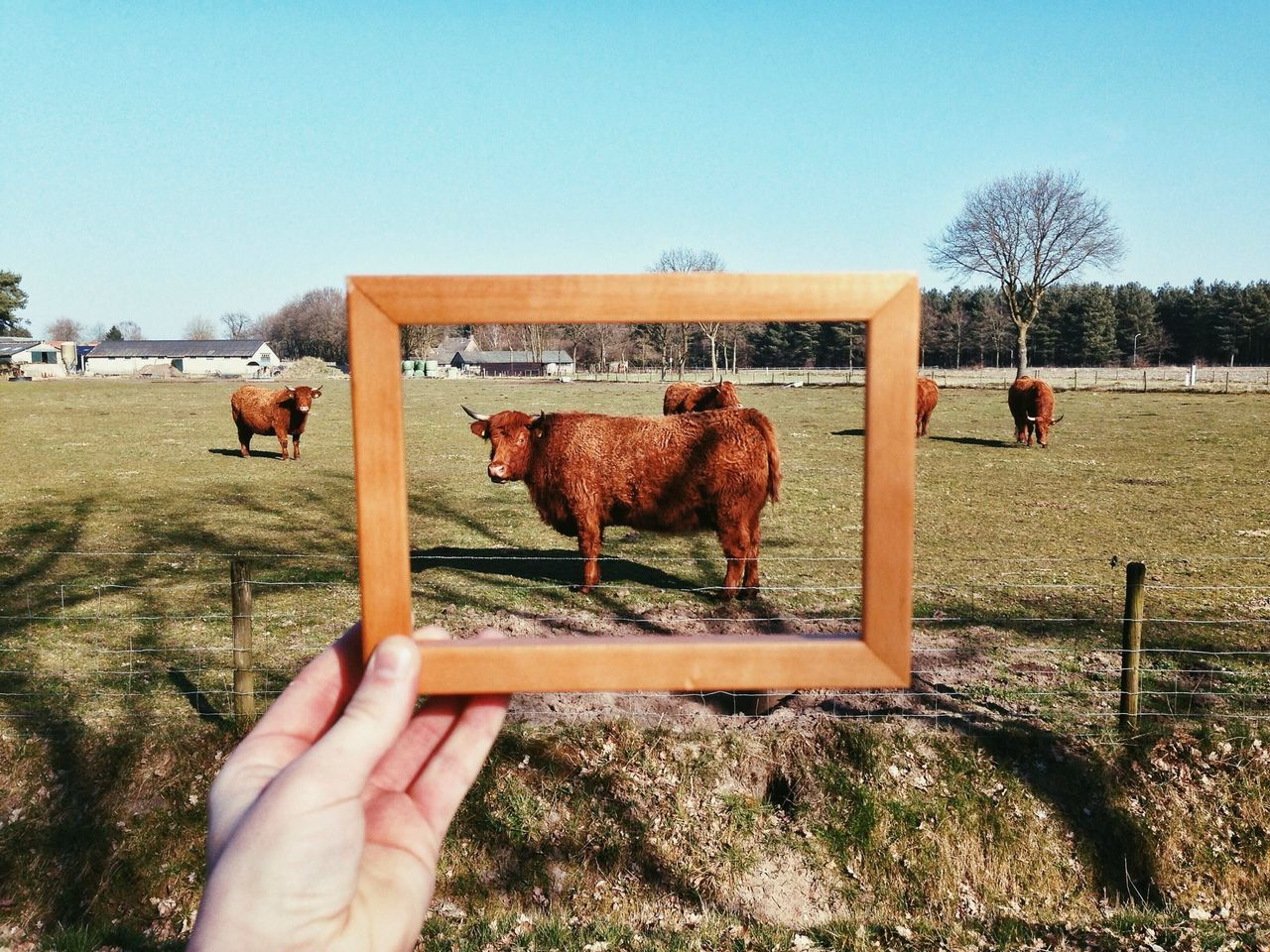 Beautiful stock photos of frame, Animal Themes, Bergeijk, Brown, Cattle