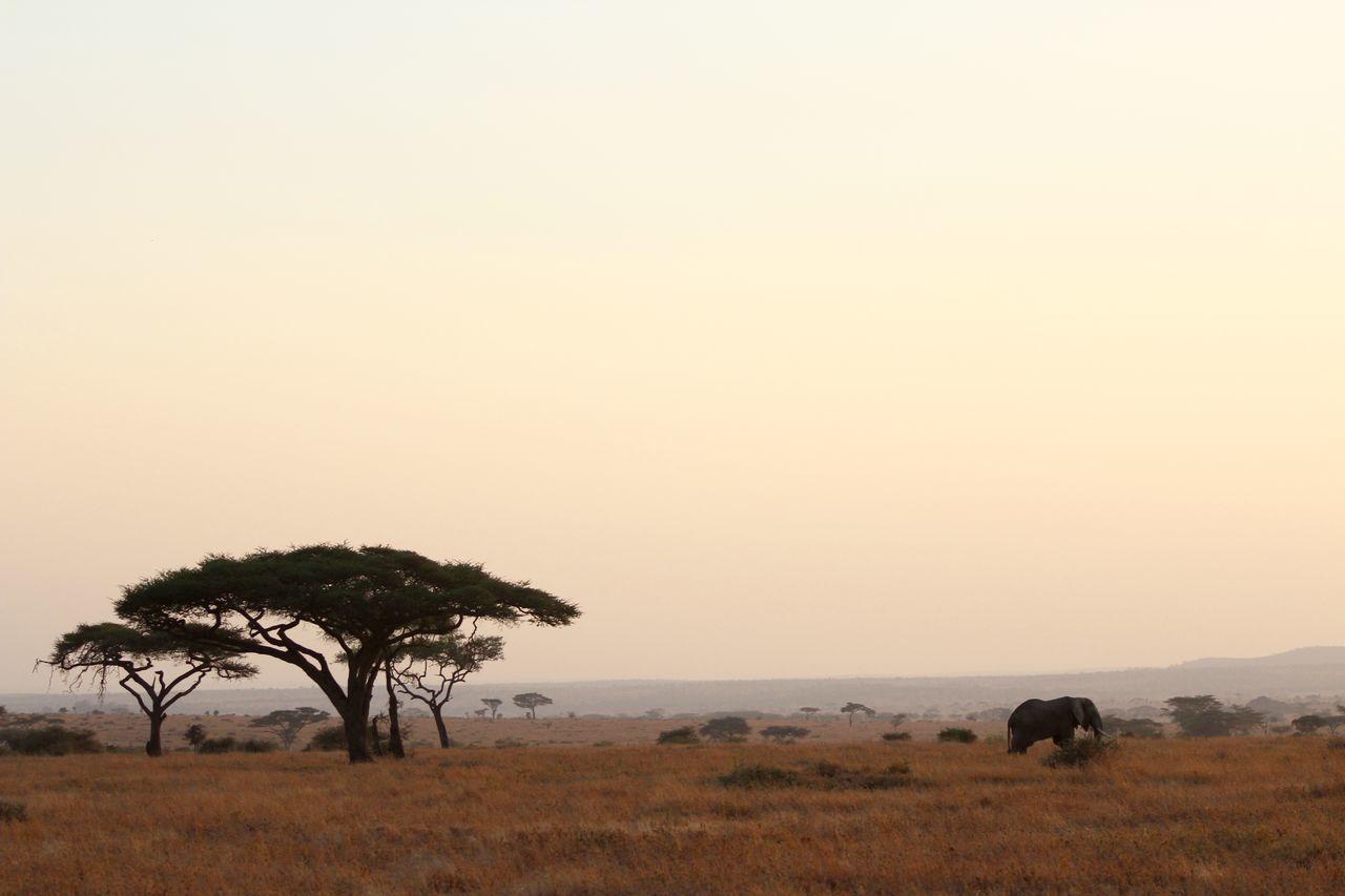 Acacia Tree Africa Beauty In Nature Clear Sky Copy Space Distant Elephant Landscape Majestic Nature Non-urban Scene Remote Safari Scenics Serengeti Serengeti National Park Serengeti, Tanzania Single Tree Solitude Tanzania Tourism Tranquil Scene Tranquility Tree Vacations