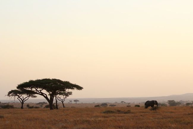 Acacia Tree Africa Beauty In Nature Clear Sky Copy Space Distant Elephant Landscape Majestic Nature Non-urban Scene Remote Safari Scenics Serengeti Serengeti National Park Serengeti, Tanzania Single Tree Solitude Tanzania Tourism Tranquil Scene Tranquility Tree Vacations