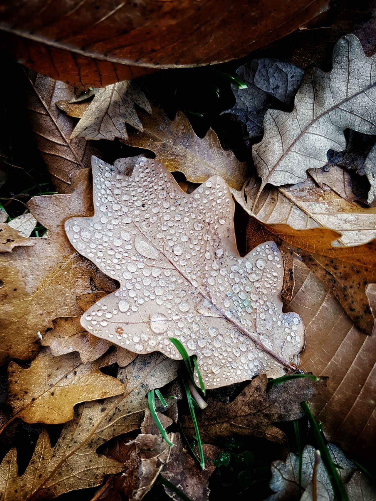 Leafs Leaf Close-up No People Nature Day Outdoors Autumn Autumn Leaves RainDrop Drops Macro Macro Photography Non-urban Scene Countryside Nature Photography EyeEm Best Shots EyeEmBestPics EyeEm Nature Lover EyeEm Gallery Leaf 🍂 Greenwich Park London