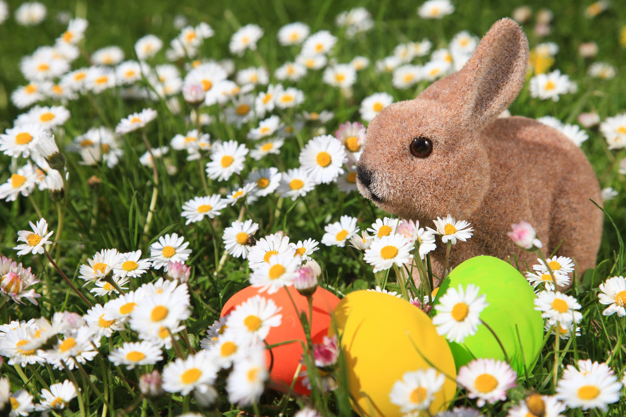 Easter bunny and painted Easter eggs on a daisy meadow Animal Themes Animals In The Wild Beauty In Nature Close-up Daisy Day Easter Easter Bunny Easter Egg Flower Flowers Grass Holiday Mammal Meadow Nature No People One Animal Outdoors Painted Rabbit - Animal Springtime Tradition