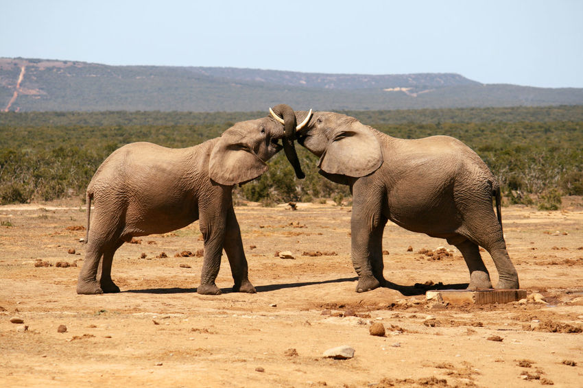 Addo Addoelephantpark Africa African Elephant Animals In The Wild Competition Day Elephant Landscape Love Loving Elephants Mammal Nature No People Outdoors Playing Two Animals Wild Wildlife