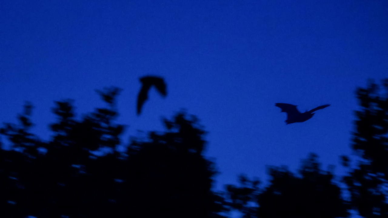 Wow, that was a difficult photo for me... Animal Themes Animal Wildlife Animals In The Wild Bat Bats Beauty In Nature Clear Sky Close-up Day Flying Low Angle View Mid-air Nature No People One Animal Outdoors Raven - Bird Silhouette Sky Spread Wings Tree Wildlife
