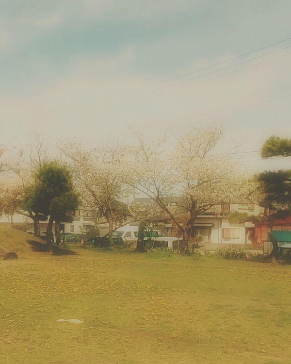 桜とたんぽぽ カメラ女子 写真撮ってる人と繋がりたい 写真すきな人と繋がりたい Spring 桜 春