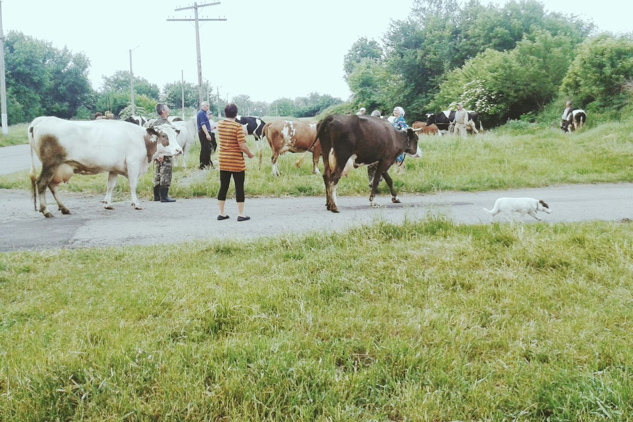 утро 33 корови Гуляю Прохлада