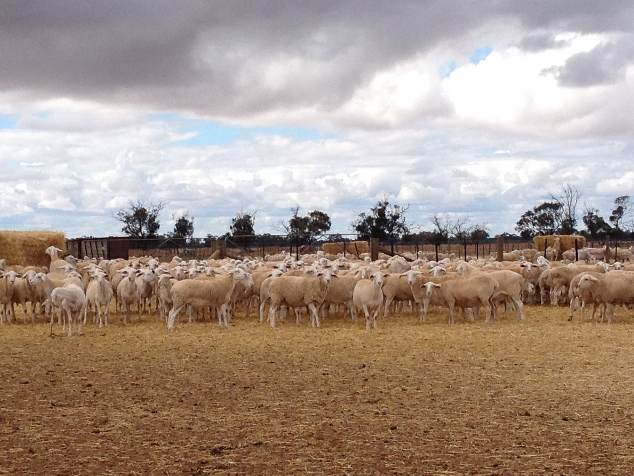 #Australia #farm #farmlife #sheep #Working #wwoofing Arid Climate Beauty In Nature Cloud - Sky Day Grazing Herbivorous Medium Group Of Animals Nature Non-urban Scene Plain Tranquil Scene Tranquility