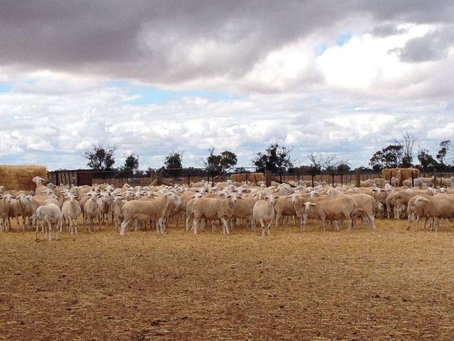 #Australia #farm #farmlife #sheep #Working #wwoofing Arid Climate Beauty In Nature Cloud - Sky Day Grazing Herbivorous Medium Group Of Animals Nature Non-urban Scene Plain Tranquil Scene Tranquility